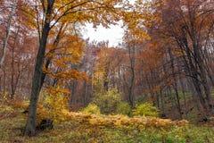 Amazing landscape with Yellow leafs of beech, Vitosha Mountain, Bulgaria Royalty Free Stock Photos