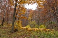 Amazing landscape with Yellow leafs of beech, Vitosha Mountain, Sofia City Region Royalty Free Stock Photo
