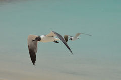 Amazing Laughing Gull in Flight Over the Ocean Stock Photography
