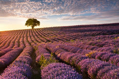 Amazing lavender field with a tree. Superb lavender furrows ending on a lonely tree at sunset royalty free stock images