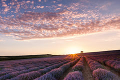 Amazing lavender field with a tree. Superb lavender furrows ending on a lonely tree at sunset stock photography