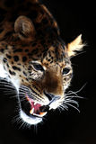 Amazing leopard brawling Stock Photos