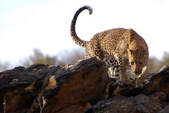 Amazing Leopard in Namibia royalty free stock photography