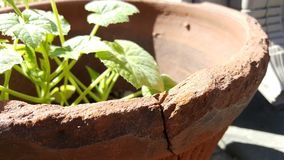 Amazing life can still form in broken places. Amazing plant growing in a broken pot royalty free stock photo