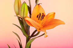 Amazing lily flower on a pink background Stock Photo