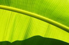 Amazing lines ofgreen banana leaf. Stock Photography