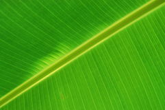 Amazing lines ofgreen banana leaf. Royalty Free Stock Photography