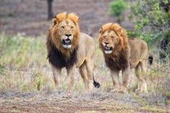 Amazing lions Stock Photos