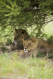 Amazing lions sitting and cuddling in the bush of Moremi Reserve Stock Photography