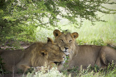 Amazing lions sitting and cuddling in the bush of Moremi Reserve Royalty Free Stock Photography