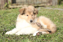 Amazing little puppy of Scotch collie lying. In the garden royalty free stock images