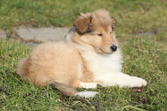 Amazing little puppy of Scotch collie lying Royalty Free Stock Photos