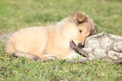 Amazing little puppy of Scotch collie lying Royalty Free Stock Photo