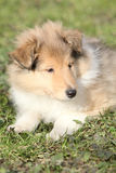 Amazing little puppy of Scotch collie lying Royalty Free Stock Photography