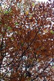 Branches with amazing autumn colored leaves royalty free stock photo