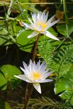 Amazing Lotus. Two magnificent exotic Lotus (water lily) flower Stock Image