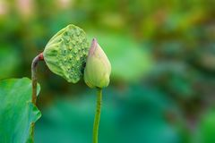 Amazing Lotus Fruit and Lotus Flower Kissing in a Romatic Environment Royalty Free Stock Photography