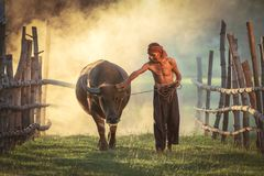 Amazing Love Is Love Of Peasants Loyal To Buffalo, Thailand. Royalty Free Stock Image