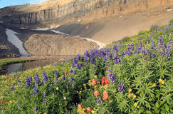 Amazing lupine wildflowers. Stock Images