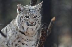 Amazing Lynx Bobcat Stock Photo