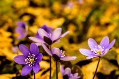 Amazing macro photo of scilla flowers with unusual bright colors of flowers and background stock image