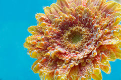 Amazing macro shot of gerbera daisy flower in the water with bubbles on blue background Stock Photography