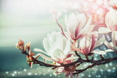 Amazing magnolia blossom with bokeh light, springtime nature background, floral border, front view, outdoor nature in garden or pa Royalty Free Stock Images