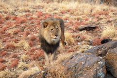 Amazing male lion in the savannah of Namibia royalty free stock photography