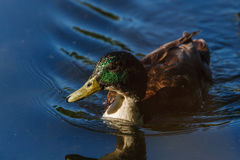 Amazing mallard duck swims in lake or river with blue water under sunlight. Closeup Stock Image