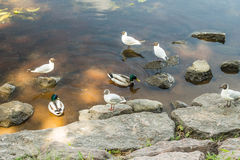 Amazing mallard ducks animal on stone. Royalty Free Stock Photos