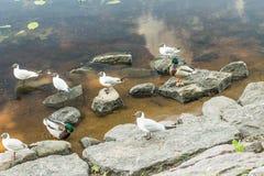 Amazing mallard ducks animal on stone. Stock Image