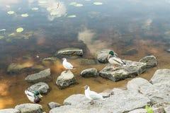 Amazing mallard ducks animal on stone. Stock Photos
