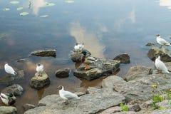 Amazing mallard ducks animal on stone. Royalty Free Stock Photo