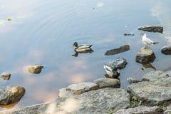 Amazing mallard ducks animal on stone. Stock Images