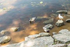 Amazing mallard ducks animal on stone. Royalty Free Stock Images