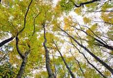 Amazing maple trees Royalty Free Stock Image