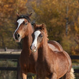 Amazing mare with beautiful foal running Stock Images