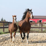 Amazing mare with beautiful foal running