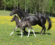 Amazing mare with foal running Royalty Free Stock Photo