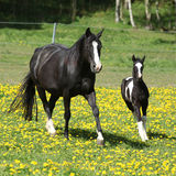 Amazing mare with foal running Royalty Free Stock Photos