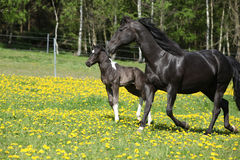 Amazing mare with little foal running on spring pasturage Stock Images