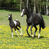 Amazing mare with little foal running on spring pasturage Stock Photo