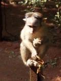 Amazing monkey baby. Eating banana, India royalty free stock image