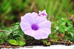 Amazing Morning Glory. A beautiful blooming  morning glory flower Royalty Free Stock Image