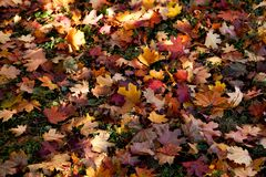Amazing multicolor background of natural autumn foliage. Colorful background of multicolor leaves with natural light. Majestic bri