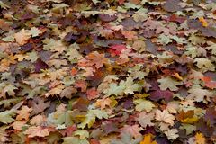Amazing multicolor background of natural autumn foliage. Colorful background of multicolor leaves with natural light. Majestic bri royalty free stock photography