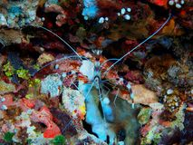 Cleaner shrimp. The amazing and mysterious underwater world of Indonesia, North Sulawesi, Bunaken Island, cleaner shrimp royalty free stock photo