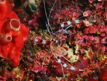 Cleaner shrimp. The amazing and mysterious underwater world of Indonesia, North Sulawesi, Bunaken Island, cleaner shrimp royalty free stock images