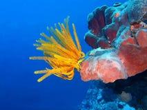 Crinoid. The amazing and mysterious underwater world of Indonesia, North Sulawesi, Bunaken Island, crinoid royalty free stock image