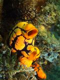 Sea squirt. The amazing and mysterious underwater world of the Philippines, Luzon Island, Anilаo, sea squirt Stock Photography